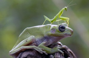 Praying-Mantis-Frog.jpg