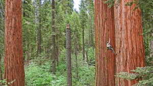 Man Climbing Old Growth Redwood