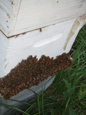 Bees hanging out at the Hive